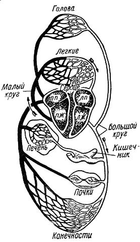 Рис. 7. Схема кровообращения собаки: ПП - правое предсердие; ЛП - левое предсердие; ПЖ - правый желудочек; ЛЖ...
