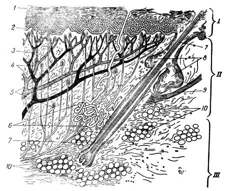 Рис.16.  Схема строения кожи.