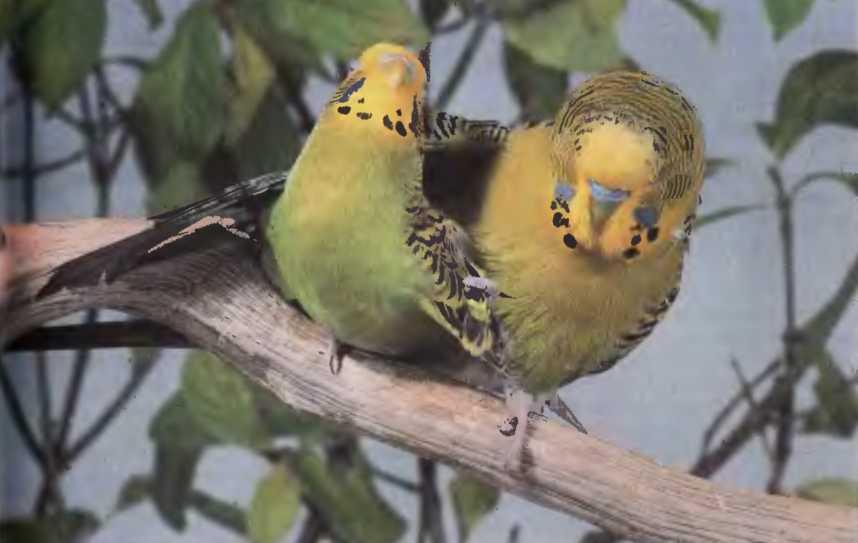 Когда у волнистых попугаев начинается брачный период