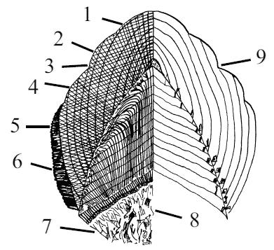 Схема отложения эмали и дентина в процессе развития зуба: 1 - эмалевые призмы, 2 - линии Ретциуса, 3...