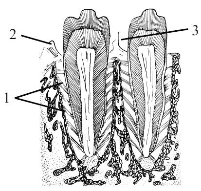 Исследователям Токийского университета удалось вырастить из стволовых клеток мышей полноценные зубы, имеющие зубные...