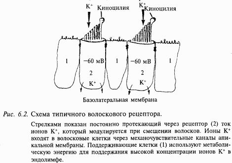 Схема типичного волоскового рецептора.