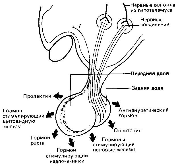 chto-takoe-spermagglyutinatsiya