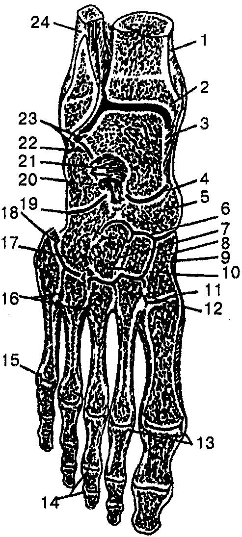 Анатомия и физиология человека: Учебное пособие