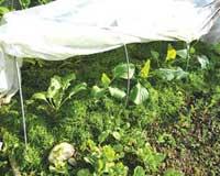 Выращивание капусты – сорта, рассада, подкормки, борьба с вредителями. Секреты выращивания и другое...