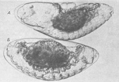 Эмбрионы, гены и эволюция