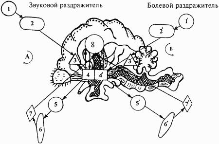 Рис.3. Схема образования условной связи.  Учение об условных рефлексах было разработано И. П. Павловым на...