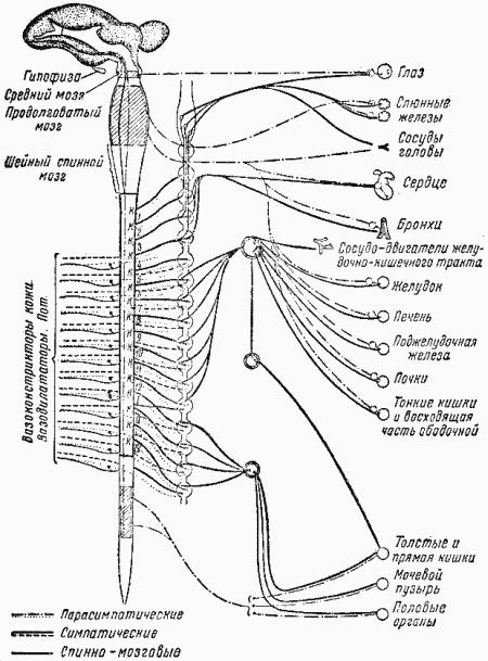 Периферический отдел вегетативной нервной системы в свою очередь делится на симпатическую и парасимпатическую системы.