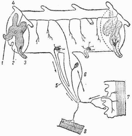 Схема рефлекторной дуги в спинном мозгу позвоночных животных.  1 и 2 - серое и белое вещество мозга; 3...