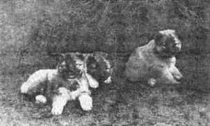 Отечественные породы служебных собак азиатского происхождения